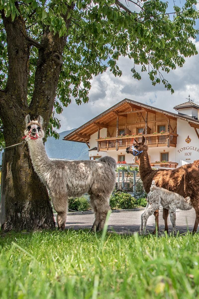 Unsere Lamas aus den Anden nach Südtirol